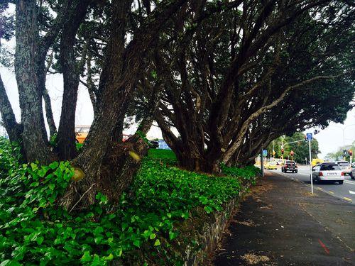 Hearing to save 6 Pohutukawa Trees