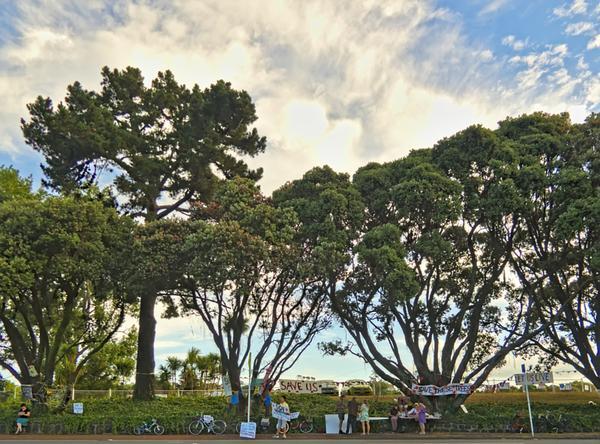 A proud day – Heritage Pohutukawa trees saved